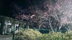 夜には 夜桜がライトアップで楽しめます。(駐車場用に設置したライトなんですが・・・)