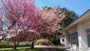 潮寿荘の居室から津軽海峡が見える右側に 桜の木が3本あります。少し遅れて満開のです。